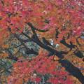 写真: ヒヨちゃんの紅葉狩り