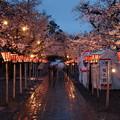 春雨降る夜桜 *a