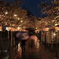 春雨降る夜桜 *d
