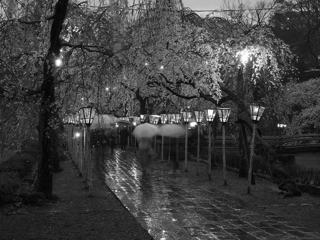 春雨に濡れた夜桜咲く参道 *b