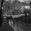 写真: 春雨に濡れた夜桜咲く参道 *b