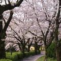 写真: 桜舞い散る散歩路
