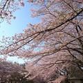 写真: サクラ舞う春の青空
