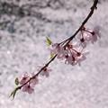 写真: キラキラ輝く散った桜と枝垂れ桜