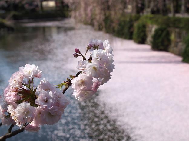 神池に散った桜と今が旬