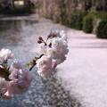 写真: 神池に散った桜と今が旬