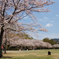 写真: 桜の下で寛ぐ休日 *b