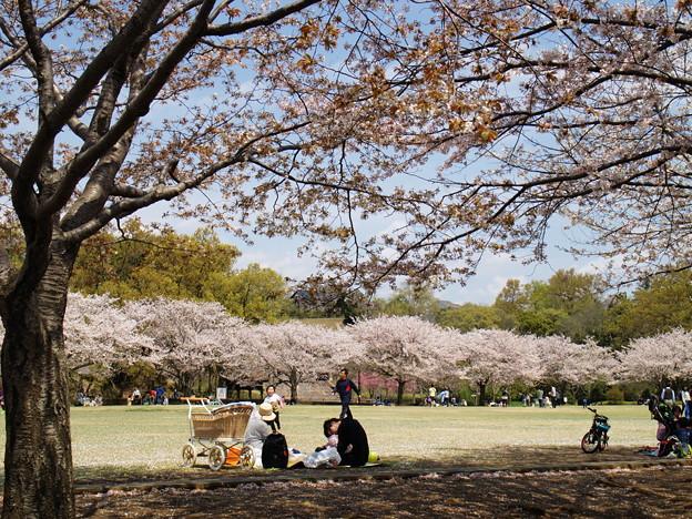 写真: 桜の下で寛ぐ休日 *d