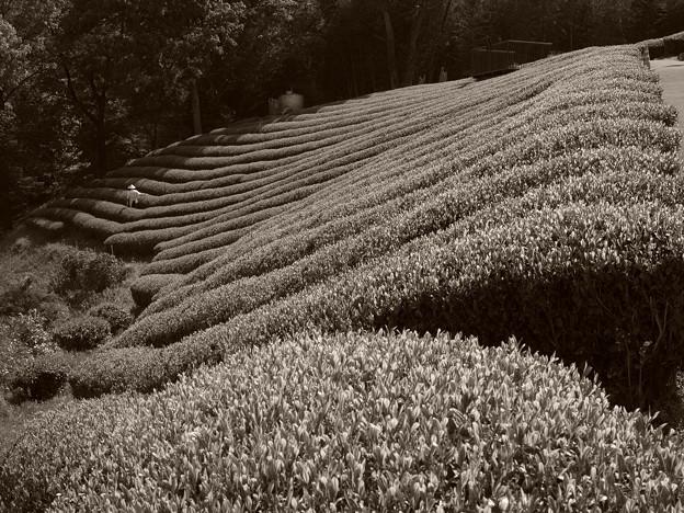 茶摘み間近かな茶畑 *c