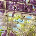 藤棚から覗く皐月の青空