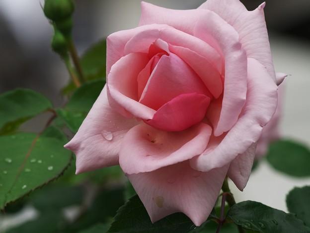 雨上がりの薔薇 *b