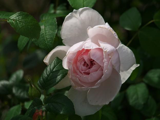 雨上がりの薔薇 *e