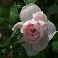 写真: 雨上がりの薔薇 *e