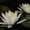 写真: 睡蓮の池