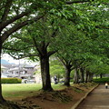 すっかり葉桜な桜並木