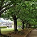 Photos: すっかり葉桜な桜並木