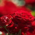 写真: ヴェルニー公園の赤い薔薇