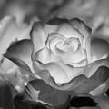 写真: ヴェルニー公園の薔薇