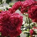 柿田川公園の赤い薔薇 *b