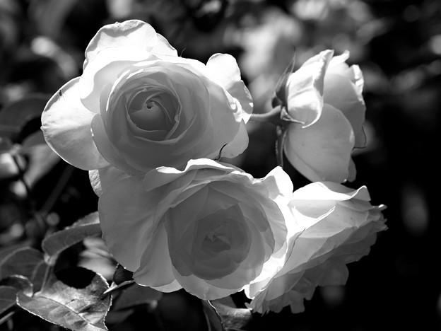 初夏を陽光を浴びる薔薇