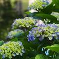 せせらぎに咲く紫陽花 *a
