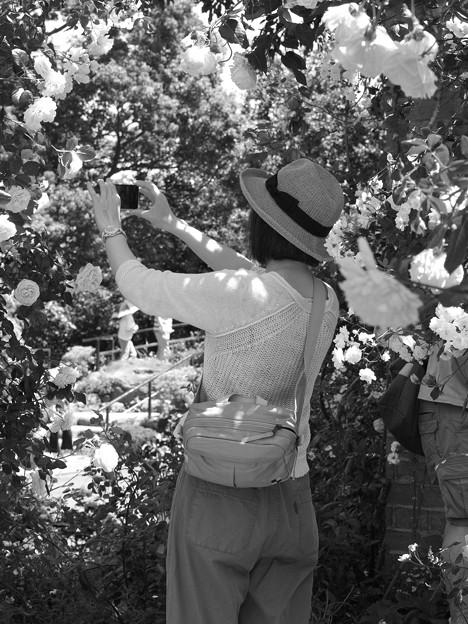 薔薇を写メする