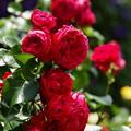 紅い薔薇を…
