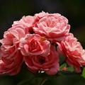 Photos: バラの贈り物