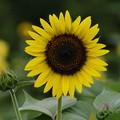 写真: キュートな向日葵