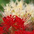 敬老の日に、紅白の彼岸花を *b