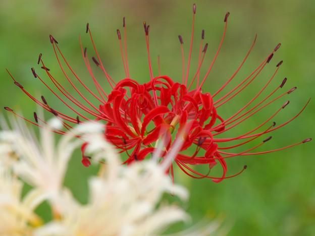 今日の日に、紅白の彼岸花を *a