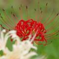 写真: 今日の日に、紅白の彼岸花を *a