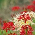 今日の日に、紅白の彼岸花を *b