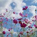 秋の青空の下、花開く *a