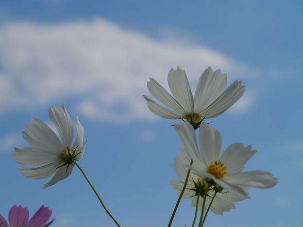 写真: 秋の青空の下、花開く *b