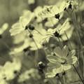 写真: 古の頃の秋桜