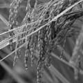 写真: 雨滴を纏った秋の旬