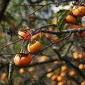 写真: 秋の旬、秋の果物 *a