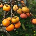 写真: 秋の旬、秋の果物 *c