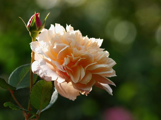 秋の陽射しを受ける秋薔薇