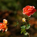 写真: 虹の郷の晩秋に咲く *d