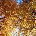 写真: 晩秋の青空とメタセコイア *b