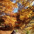 秋の陽射しを浴びるメタセコイア