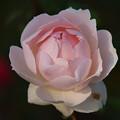 初冬に咲く薔薇 *c