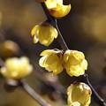 写真: 早春の蝋梅 *b