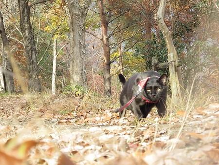 紅葉の終わり_黒猫チャンプ3