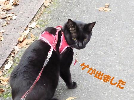 紅葉の終わり_黒猫チャンプ33