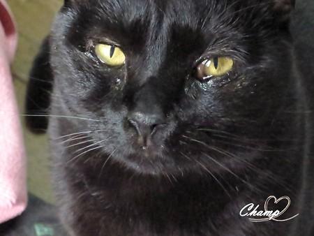 黒猫チャンプ