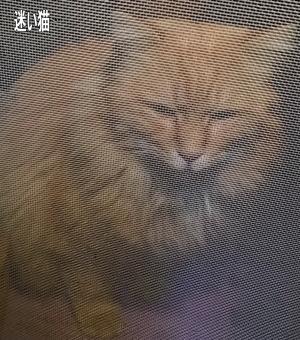迷子の長毛茶猫2