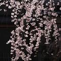 京都、白川南通り(1)H29,4,4